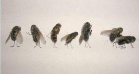 Мертвые мухи